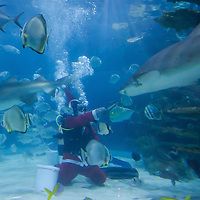 Scuba divers feed sharks and other sea fishes is Santa Claus costume as part of their christmas celebration in Budapest, Hungary on December 04, 2014. ATTILA VOLGYI