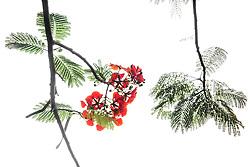 Royal Poinciana Tree Delonix Regia #27