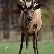 Elk (Cervus canadensis) bull with antlers growing, encased in velvet, grazing on new grass shoots in a meadow.  Wyoming.
