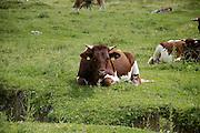 Austria, Upper Austria, Gosau village, in the Dachstein Mountains cows grazing in the fields