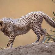 Cheetah, (Acinonyx jubatus) Portrait of cub. Serengeti Plains. Masai Mara Game Reserve. Kenya. Africa.