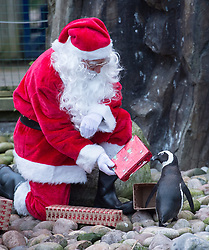 © Licensed to London News Pictures.  29/11/2017; Bristol, UK. Bristol Zoo gives Christmas presents to some of its animals. Pictured Santa and Good Elf with Mimi the South African Penguin. Picture credit : Simon Chapman/LNP