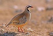 Closeup of a single Chukar Partridge or Chukar (Alectoris chukar) Photographed in Israel, Arava desert in December