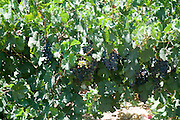 Israel, Lower Galilee, Tabor Winery, ripening Merlot grape on the vines two weeks before harvest July 2008