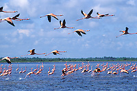 National park of Rio Lagartos, greater flamingo, Mexico
