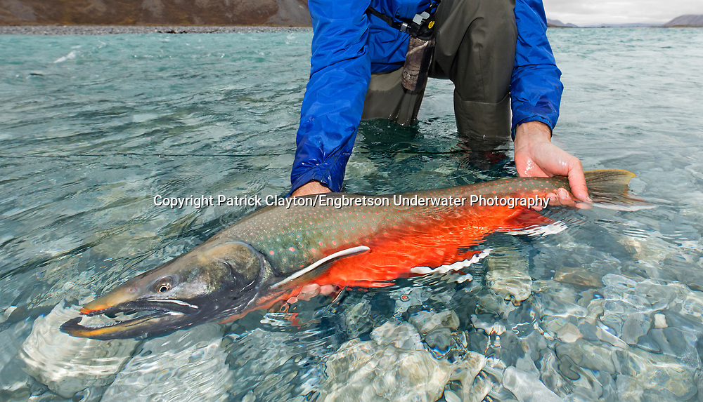 Dolly Varden<br /> <br /> Patrick Clayton/Engbretson Underwater Photography