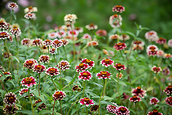Zinnia haageana 'Jazzy Red'