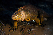 Land Iguana (Conolphus subcristatus)<br /> Cerro Dragon (Dragon Hill)<br /> Santa Cruz<br /> Galapagos<br /> Ecuador<br /> South America