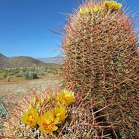 USA, California, San Diego County. Blooming Barrel Cactus at Anza-Borrego Desert State Park.