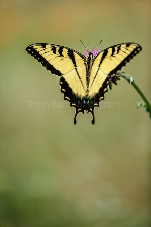 Eastern Swallowtail Butterfly on purple thistle, Big Spring historical and natural area, Great Trinity Forest, Dallas, Texas, USA