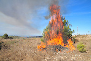 A burning bush - young pine tree burning Israel, Carmel forest fire