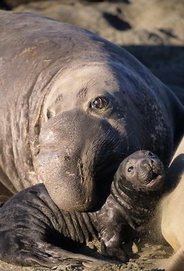 Northern Elephant Seal, (Mirounga angustirostris) Male and pup. California.