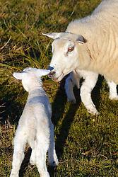 Ovelhas nos campos de Encruzilhada do Sul. FOTO: Jefferson Bernardes/Preview.com