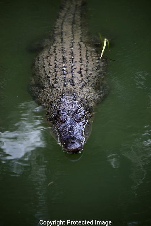 A crocodile near Cairns, Australia.  photograph by Dennis Brack