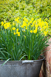 Galvanised pot planted with a succession of narcissus. Narcissus 'Baby Boomer' in flower with Narcissus 'Rose of May' in bud and the foliage of Narcissus 'Rip van Winkle'