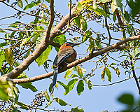 Lesson's Motmot (Momotus lessonii). Image taken with a Nikon D3s camera and 70-300 mm VR lens.
