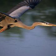 Great Blue Heron, (Ardea herodias) In flight. Florida.