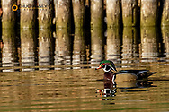 Wood Duck at Woodland Park in Kalispell, Montana, USA