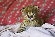 Serval <br /> Felis serval<br /> Two week old orphan kitten, ears just starting to open, on bed on day of arrival<br /> Masai Mara Reserve, Kenya