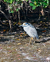 Yellow-crowned Night-Heron (Nyctanassa violacea). Weedon Island. Pinellas County, Florida. Image taken with a Nikon D300 camera and 80-400 mm VR lens.