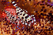 A pair of Coleman Shrimp (Periclimenes colemani) nestled among the spines of a Fire Urchin (Asthenosoma varium) in Tulamben, Bali, Indonesia.