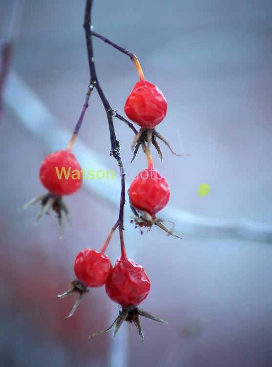 Rose Hips Blush in Winter