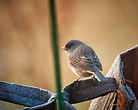 Dark-eyed Junco. Image taken with a Nikon D5 camera and 600 mm f/4 lens (ISO 1600, 600 mm, f/4, 1/250 sec)