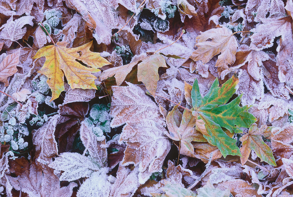 Bigleaf maple leaves with frost, Olympic National Park, Washington, USA