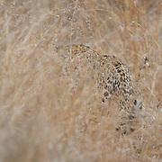 Leopard, Londolozi Private Game Reserve. South Africa.