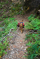 Dog with backpack on Pine Ridge Trail, Big Sur, California.
