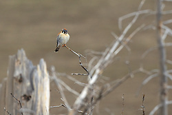 American Kestrel, Yellowstone National Park. This is a small file size of only 10 megabites so don't print larger than 8X12