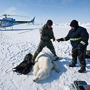 Geoff York, a USGS biologist and Katrina Knott, research assistant, collecting data from a polar bear (Ursus maritimus) on the Beaufort Sea ice. Kaktovik, Alaska.