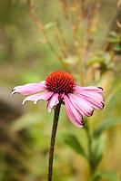 Echinacia or coneflower bloom.