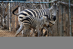 April 25, 2017 - Qingdao, Qingdao, China - Qingdao, CHINA-April 25 2017: (EDITORIAL USE ONLY. CHINA OUT)..The newborn zebra attracts many visitors' attention at a zoo in Qingdao, east China's Shandong Province, April 25th, 2017. (Credit Image: © SIPA Asia via ZUMA Wire)