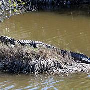 American alligator at Black Point in the Merrit Island Wildlife Refuge in Merritt Island, Florida. (AP Photo/Alex Menendez) Florida scenic highway photos from the State of Florida. Florida scenic images of the Sunshine State.
