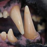 Canine teeth of a large male polar bear.
