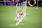 New York, NY - 8 February 2014. A dog runs through weave poles in agility trials at the Westminster Kennel Club dog show. This is the first year the WKC has included agility trials in the show.