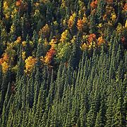 Autumn-colored aspens among black spruce. Denali National Park & Preserve, Alaska
