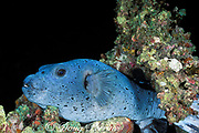 blackspotted puffer or black spotted blow fish<br /> Arothron nigropunctatus, sleeping on coral reef at night,<br /> Helengeli, North Male Atoll, Maldives ( Indian Ocean )