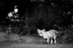 Red fox (vulpes vulpes) in a suburban garden, Leicester, England, UK.