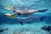 JoJo, a wild sociable bottlenose dolphin, Tursiops truncatus, follows a snorkeler with an underwater scooter, Turks and Caicos ( Western Atlantic Ocean ) MR148