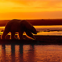 This Polar Bear is walking along the shore of the Beaufort Sea near Kaktovik Alaska at sunset.