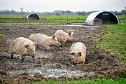 Nederland, Zeddam, 15-12-2016Op een biologische varkenshouderij, boerderij, lopen de dieren constant buiten en wroeten in de modder.Foto: Flip Franssen