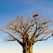 One of the distinctive baobab trees in the afternoon light and blue sky at Tarangire National Park in northern Tanzania not far from Ngorongoro Crater and the Serengeti.