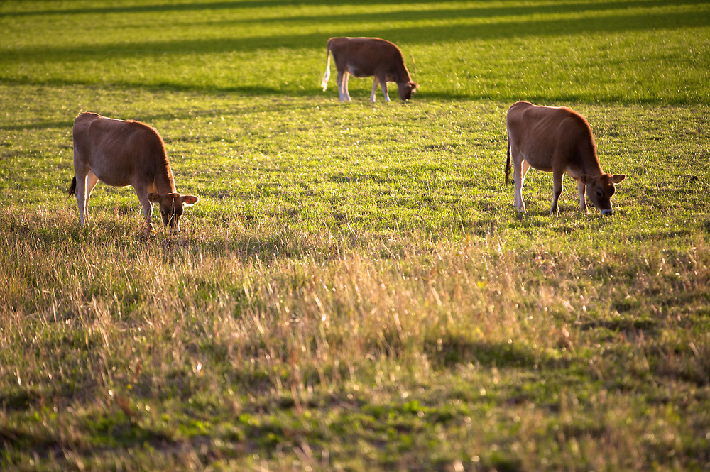 Jersey cows grazing on the grass in a field in the countryside in Jersey, Channel Islands
