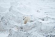 Polar bear Ursus maritimus on frozen tundra<br />Churchill<br />Manitoba<br />Canada