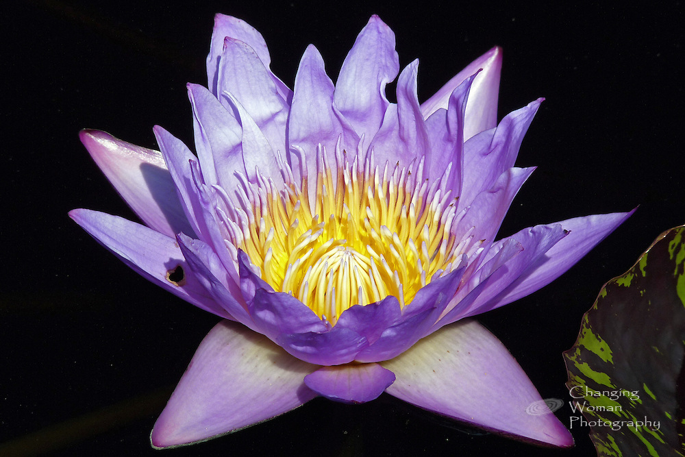 """Tropical day blooming waterlily cultivar displays blue-violet sepia, blue petals and pale blue-violet-tipped yellow stamens; full frame image of Brachyceras Nymphaea """"Leopardess"""""""