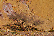 Plant surviving in the harsh and arid desert conditions. Photographed in the Red Canyon near Eilat, Israel