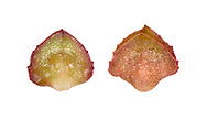 Babington's Orache - Atriplex glabriuscula