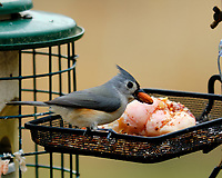 Tufted Titmouse. Image taken with a Fuji X-H1 camera and 200 mm f/2 lens + 1.4x TC